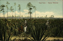Sisal Farm Postcard