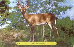 Lodi Deer