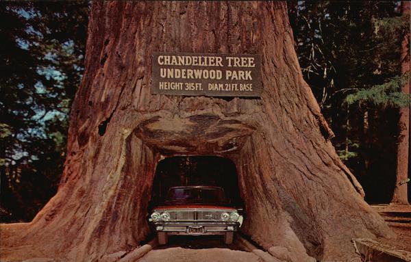 Chandelier Tree - Underwood Park Redwood Highway, CA