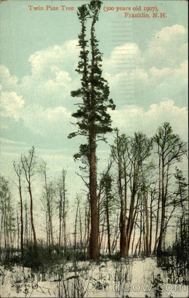 Twin Pine Tree (300 Years old 1907) Franklin New Hampshire