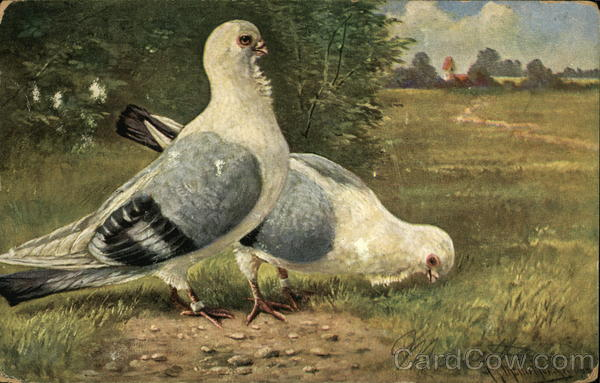Two Gray and White Pigeons in a Meadow Birds