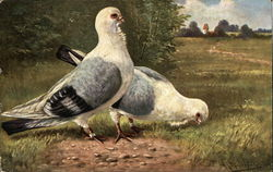 Two Gray and White Pigeons in a Meadow