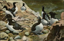 Colony of Murres