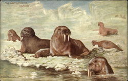 Walruses in the Arctic Region