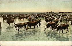 Trail Herd Watering - Cattle Drive