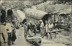 Branding Cattle, Ceylon