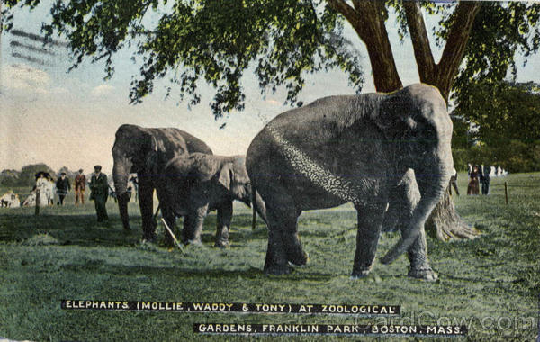 Elephants (Mollie, Waddy & Tony) at Zoological Gardens, Franklin Park Boston Massachusetts
