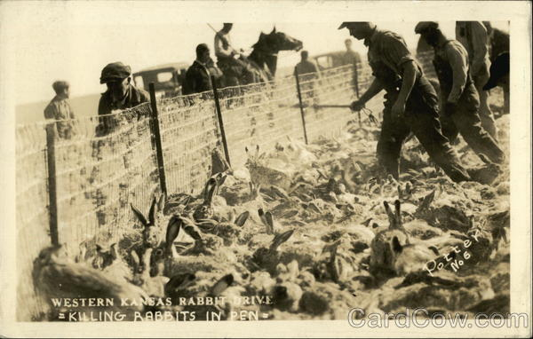 Western Kansas Rabbit Drive - Killing Rabbits in Pen