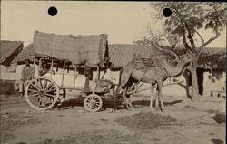 Camel Pulling Cart