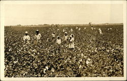 Picking Cotton in the Rio Grande Valley