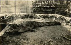 Crocodile, Largest in Captivity, 165 Years Old