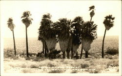 Palms of the Desert