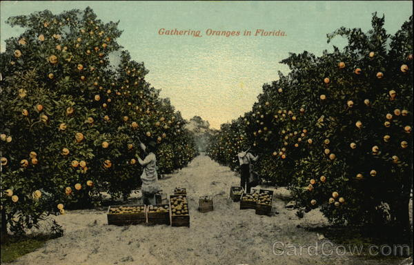 Gathering Oranges in Florida