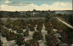 Glimpse of an Orange Grove and Homestead