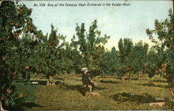 One of the famous pear orchards in the golden west