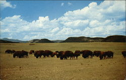 The Famous Philmont Buffalo Herd