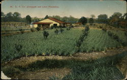 U.F. Co. Pineapples and Lime Plantation