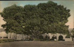 Moreton Bay Fig Tree on Southern Pacific Station Grounds