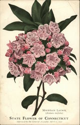 Mountain Laurel - State Flower of Connecticut