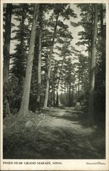 Pines Near Grand Marais, Minn. Postcard
