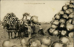 Huge Onions Loading on Farm Cart