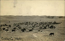 A Field of Cows In Custer County, Nebraska