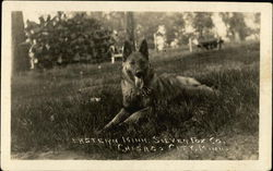 German Shepherd - Eastern Minn. Silver Fox Co.