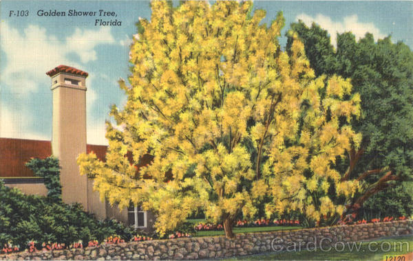 Golden Shower Tree Florida Trees