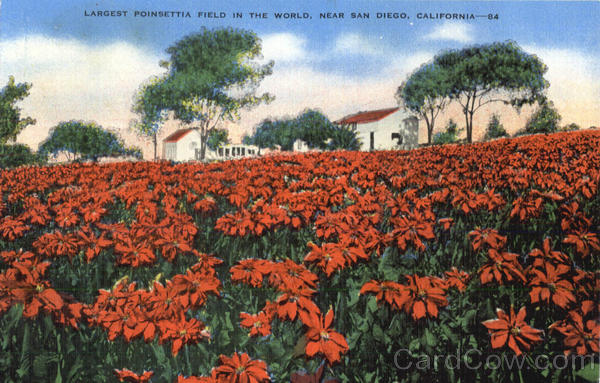 Largest Poinsettia Field In The World San Diego California