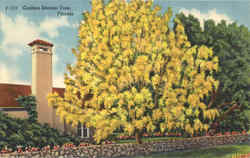 Golden Shower Tree Florida
