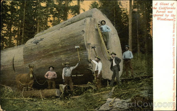 A Giant of the California Forest Not Speared by the Woodsmen Redwoods