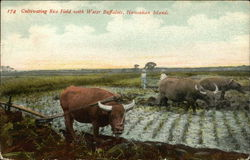 Cultivating Irce Field with Water Buffaloes