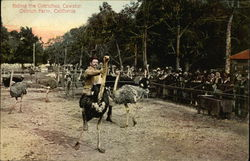 Riding the Ostriches