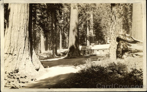 Redwood Basin - Big Trees, Cabin Wawona California