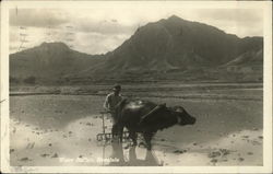 Water Buffalo and Man in Mud