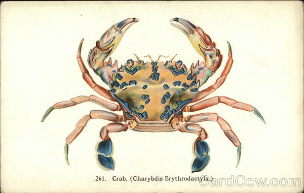 Illustration of Crab - Charybdis Erythrodactyla Hawaii