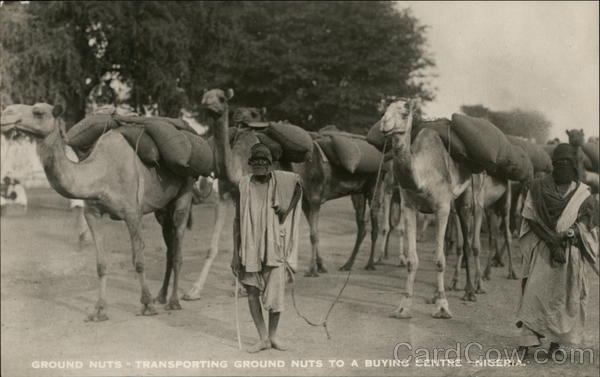 Man Transporting Ground Nuts to a Buying Centre by Camel Nigeria
