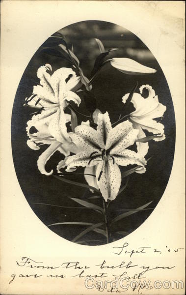 Photograph of Lilies Flowers