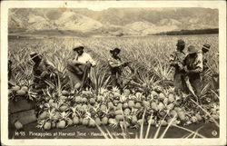 Pineapples at Harvest Time - Hawaiian Islands