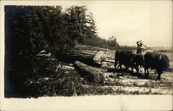 Cattle Pulling a Log
