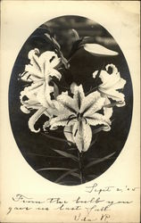Photograph of Lilies