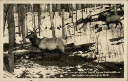Elk - Winter on the State Game Reservation