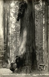 Redwood Burhl, Bull Creek Flat
