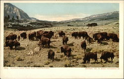 Buffalo Herd Near Fort Yellowstone