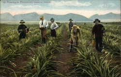 Pineapple Plantation, Hawaiian Islands
