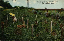 Tomato Gathering at Collins Farm