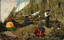 Indians Picking Hops, Northwestern Pacific