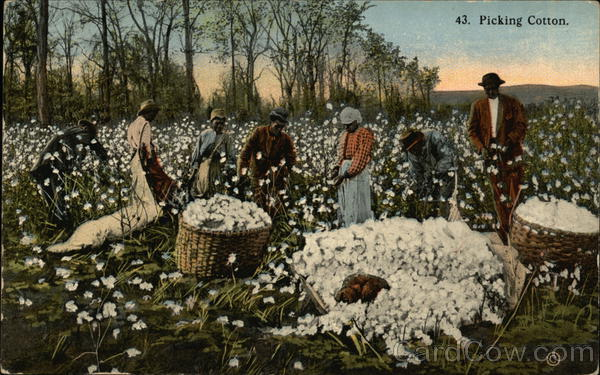 Picking Cotton with Black Field Hands Black Americana