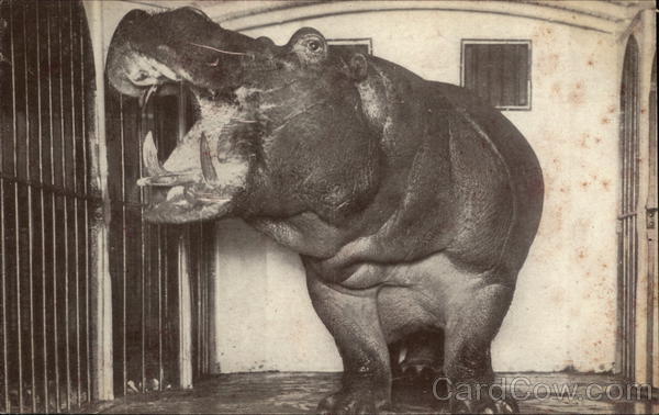 Large Hippo In cage With Mouth Open