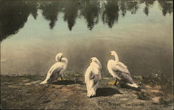 Three White Swan by the Water